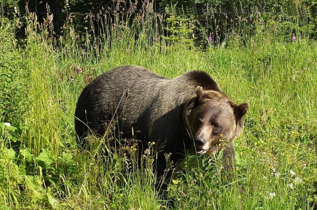 Wyoming grizzly bear hunt