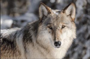 wolf-ynp